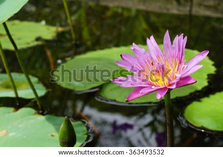 Lotus Flower and Lotus Flower Plants in a Pond - stock photo