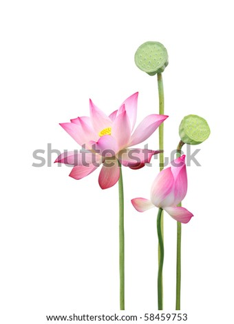 lotus flower and seedpod - stock photo