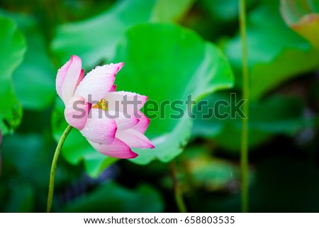 Lotus flower background lotus symbol vietnamese stock photo 100 lotus flower background lotus is symbol for vietnamese mightylinksfo