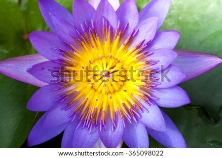 lotus flower background, macro and close-up, soft focus