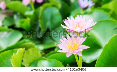 Lotus flower background or Water lily background with copy space