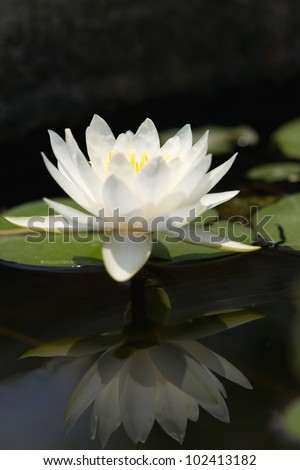 Lotus flower blooming - stock photo