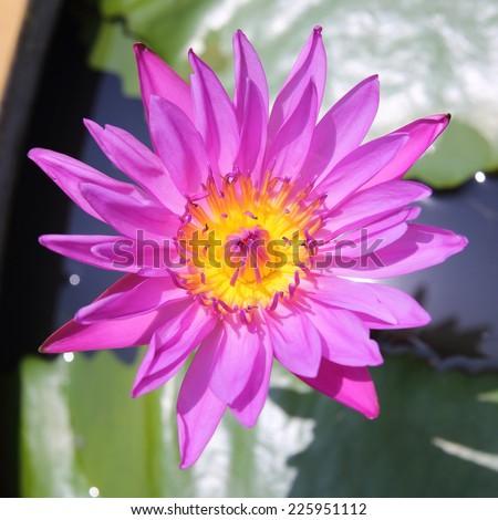 Lotus flower blooming exposure the sun - stock photo