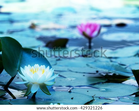 Lotus flower blooming on a tranquil pond in blue morning light. White lotus flower and pink lotus flower behind. Shallow depth of field for dreamy feel. - stock photo