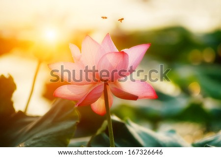 lotus flower blossom - stock photo
