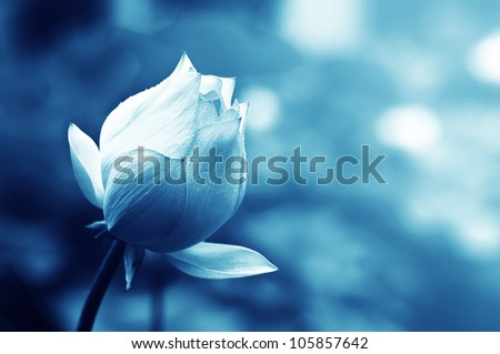 lotus flower blossom ,in the rain,water drops on the petals - stock photo