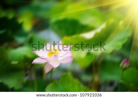 lotus flower blossom in the sunrise - stock photo
