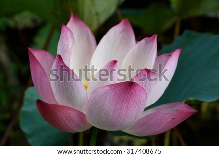 Lotus flower full blossom early morning stock photo royalty free lotus flower full blossom in an early morning the elegance and purity of lotus is mightylinksfo