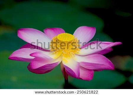 Lotus flower in bloom. Nelumbo nucifera is botanical name for lotus plant - stock photo