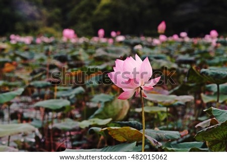 Lotus flower natural habitat stock photo royalty free 482015062 lotus flower in natural habitat mightylinksfo