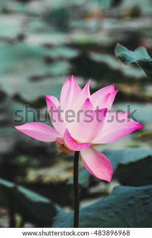 Lotus flower thailand stock photo royalty free 483896968 lotus flower in thailand mightylinksfo