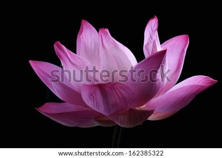 lotus flower isolated on black background - stock photo