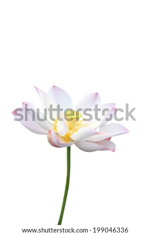 lotus flower isolated on white background  - stock photo