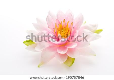 Lotus flower isolated white background - stock photo