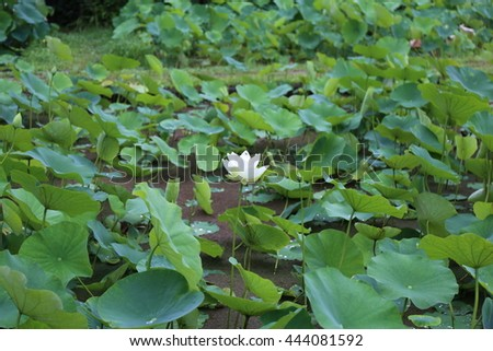 Lotus flower/Lotus flower/Matsuyama, JPN- 2016 Jun 25: lotus flower
