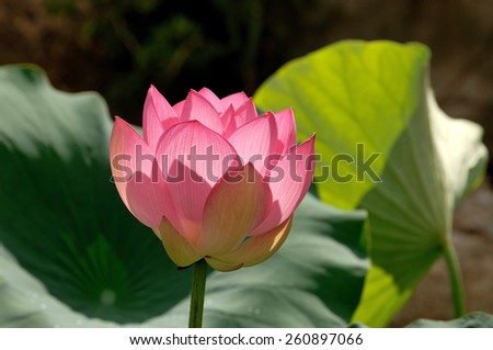 lotus flower. Nelumbo nucifera - stock photo