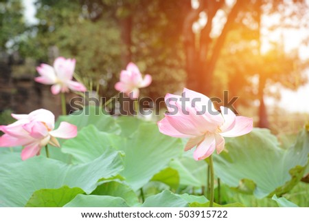 Lotus flower nelumbo nucifera known by stock photo royalty free lotus flower nelumbo nucifera known by a number of names including indian lotus mightylinksfo
