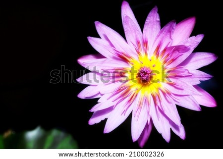 Lotus flower on black background