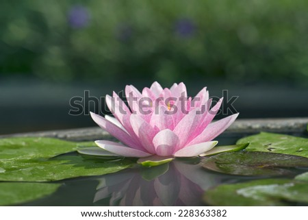 Lotus flower or water Lilly flower . - stock photo
