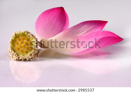 lotus flower petals on the white background - stock photo