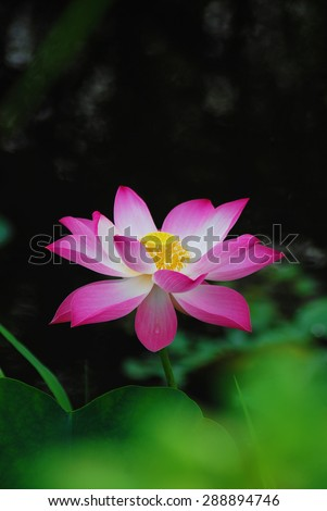 Lotus Flower (Vietnamese: sen) - stock photo