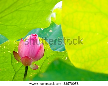 Lotus flower with colorful green leaves - stock photo