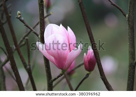 Lotus-flowered Magnolia,beautiful purple with white flower and buds blooming in the countryside in spring,closeup,Southern Magnolia,Loblolly Magnolia,Large-flowered Magnolia  - stock photo