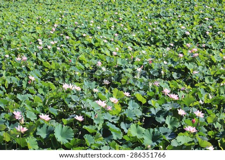 Lotus flowers and buds,many beautiful pink lotus flowers and buds blooming in the pond in summer  - stock photo