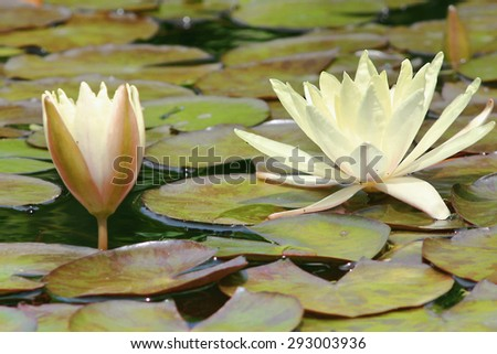 Lotus flowers and Lily pads in a fountain