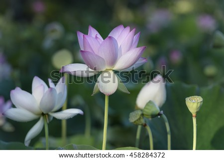 Lotus Flowers in Aquatic Garden - stock photo