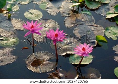 Lotus flowers represent one symbol fortune stock photo royalty free lotus flowers represent one symbol of fortune in buddhism the lotus flowers and leaves with mightylinksfo