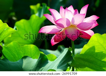 Lotus for conceptual photo