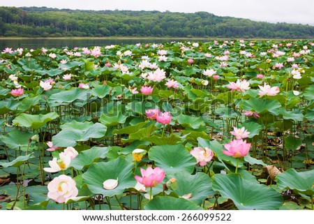 Lotus grows in the lake. Listed in the red book as a rare flower. Asian Lotus. Oriental Lotus. Lotus flower. Lotus pond. Symbol of Buddhism. Flower is listed in the red book. Rare Oriental. Relic. - stock photo