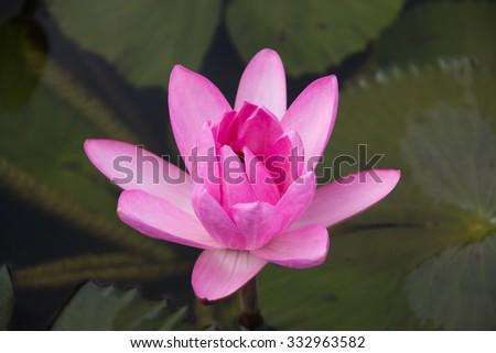 Lotus in botanic garden  - stock photo