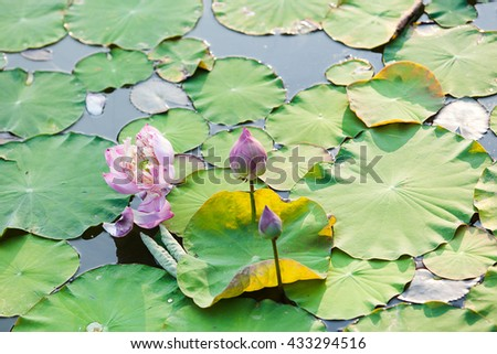 lotus in pool of garden