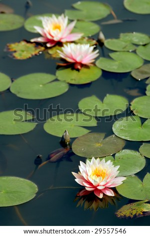Lotus in soft focus, Vietnam