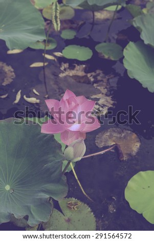 Lotus in the pond retro vintage style for background soft focus.