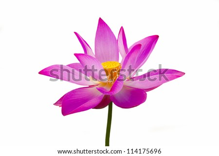 lotus is blooming on isolated background - stock photo