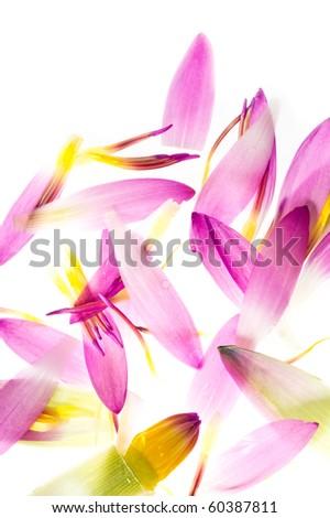 Lotus, isolated on white - stock photo