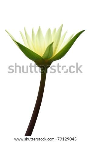 Lotus isolated on white - stock photo