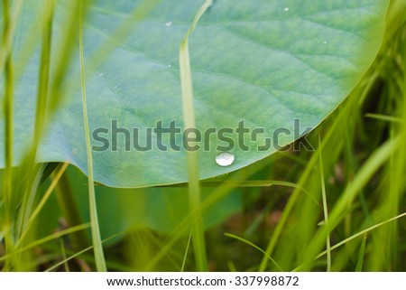Lotus leaf, dew on the leaf of a flower, Valley of lotuses, Lotus flower, rare flower, ancient flower, symbol of purity, symbol of Buddhism, Lotus pink, Oriental Lotus flowers - stock photo