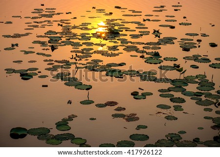 Lotus Leaf evening sunset Lake.