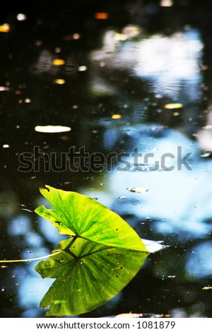 lotus leaf in a pond with reflection of itself - stock photo