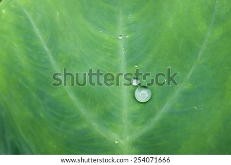 Lotus leaf with water drops effect green, drops of dew on a green  - stock photo