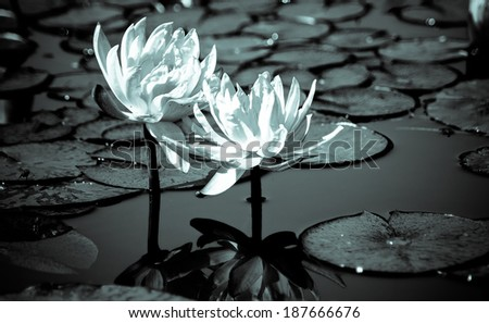Lotus leaves and flowers on a water pond - stock photo