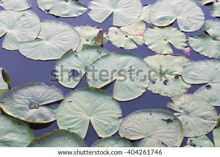 lotus leaves,shots with top view