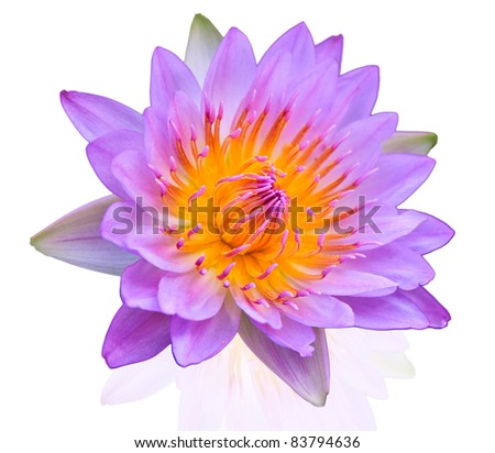 lotus on isolate background - stock photo