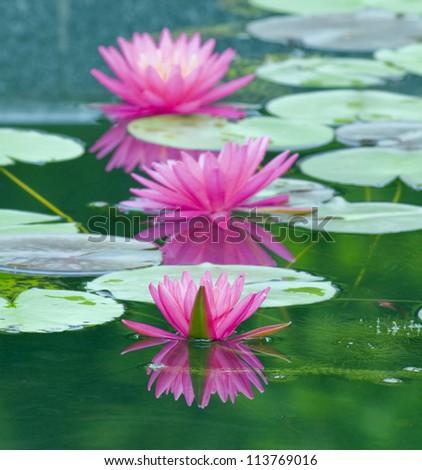 Lotus on Lotus Leaf - stock photo