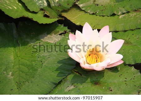Lotus or Water Lily in a pond