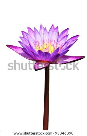 lotus purple flower isolated on white - stock photo